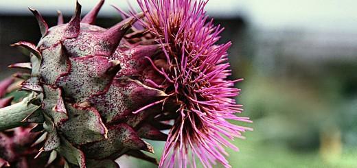 Mariendistel Heilpflanze